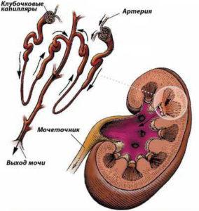 Влияние инфекции на почечные ткани