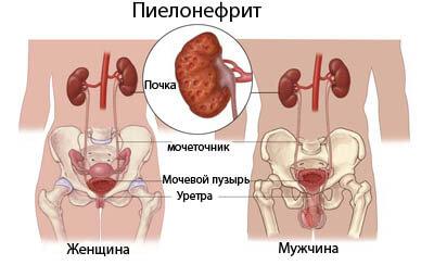 Мужская мочевыводительная система