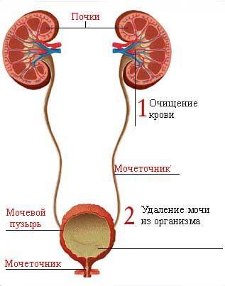 Функции и роль почек в организме человека