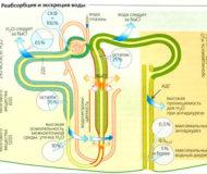 Как проходит процесс реабсорбции в почках