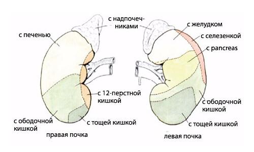 Схема расположения органа