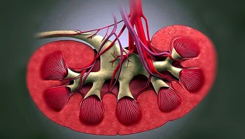 От почки отходят вена и артерия