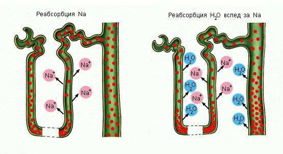 Фильтрация жидкости в организме