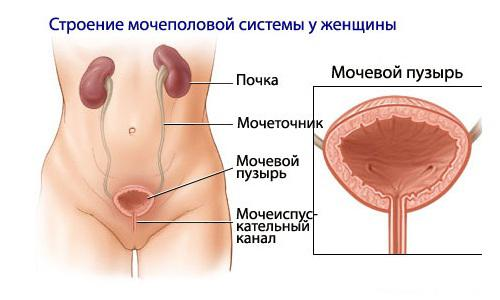 Мочеполовая система слабого пола