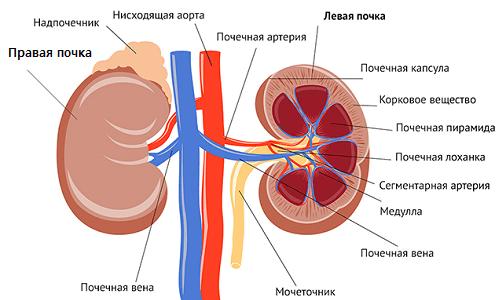 Строение почечной системы
