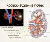 Особенности кровоснабжения почек