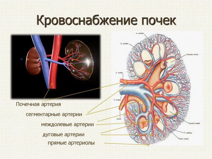 Кровообращение происходит в почках за счет вен и артерий
