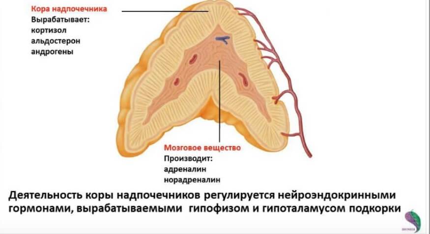 Гормоны, которые вырабатывает корковый слой надпочечников