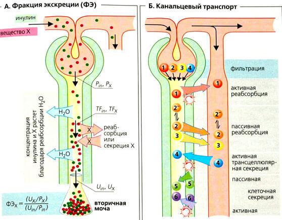 Транспортировка питательных веществ через почки